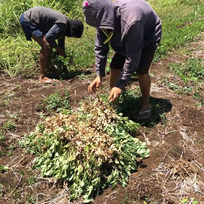 Growing Peanuts and Self-reliant Families in Tonga