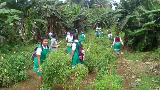 LDS Tongan TVET Students Harvest Tomatoes for Local Hospital